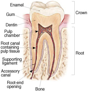 Tooth Root diagram to show where a root canal is